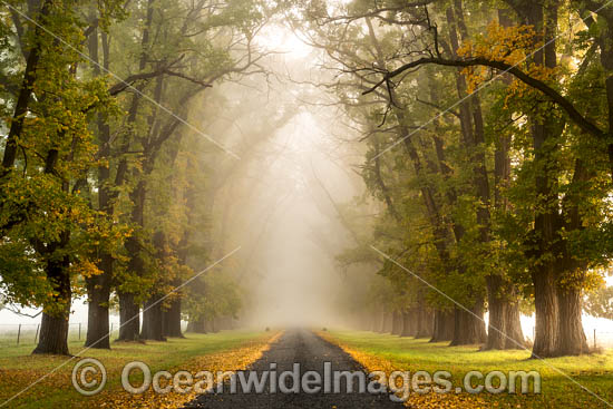 Country road lined with Elm trees in Autumn, near Uralla, New England Tableland, New South Wales, Australia. Photo - Gary Bell