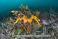 Leafy Seadragon photo