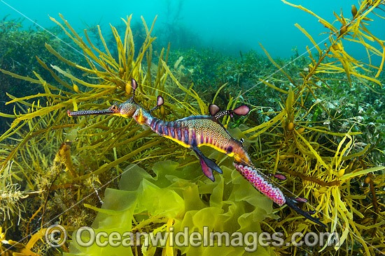 Weedy Seadragon (Phyllopteryx taeniolatus), male with eggs. Found in temperate coastal waters of Australia, from Geraldton, WA, to Port Stephens, NSW, and around Tas. Photo taken in Western Port Bay, Victoria, Australia. Photo - Gary Bell