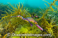 Weedy Seadragon with eggs Photo - Gary Bell