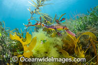 Weedy Seadragon male with eggs Photo - Gary Bell