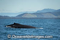 Humpback Whale dorsal fin Photo - Gary Bell
