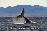 Humpback Whale tail fluke Photo - Gary Bell