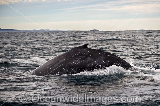 Humpback Whale (Megaptera novaeangliae), on surface. Coffs Harbour, New South Wales, Australia. Classified as Vulnerable on the IUCN Red List.