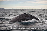Humpback Whale on surface photo