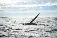 Humpback Whale fin slapping Photo - Gary Bell