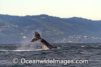 Humpback Whale tail slapping photo