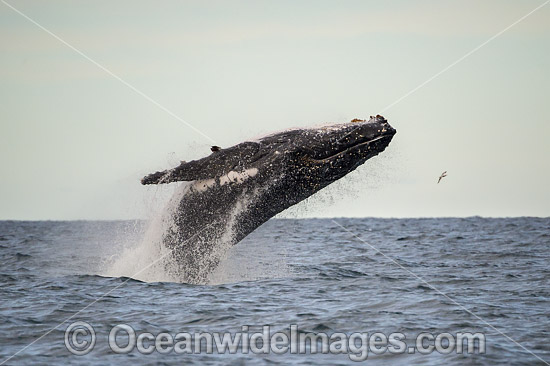Humpback Whale (Megaptera novaeangliae), breaching on surface. Coffs Harbour, New South Wales, Australia. Classified as Vulnerable on the IUCN Red List.