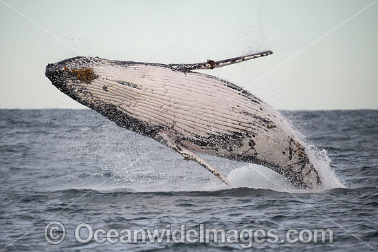 Humpback Whale Coffs Harbour