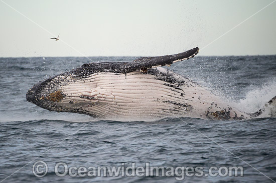 Humpback Whale (Megaptera novaeangliae), breaching on surface. Coffs Harbour, New South Wales, Australia. Classified as Vulnerable on the IUCN Red List. Sequence: 11c