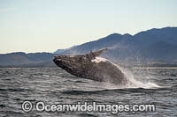 Humpback Whale Coffs Harbour photo