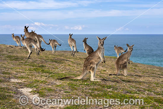 Mob of Eastern Grey Kangaroos (Macropus giganteus). Look At Me Now Headland, New South Wales, Australia. Photo - Gary Bell