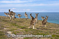 Eastern Grey Kangaroo Mob Photo - Gary Bell