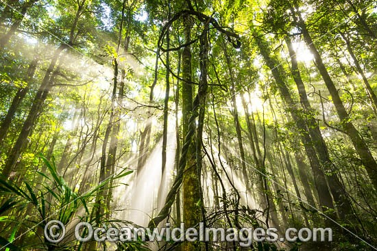 Rainforest draped in mist, situated in the Dorrigo National Park, part of the Gondwana Rainforests of Australia World Heritage Area. Dorrigo, NSW, Australia. Inscribed on the World Heritage List in recognition of its outstanding universal value. Photo - Gary Bell