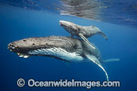 Humpback Whale mother with calf Photo - Vanessa Mignon