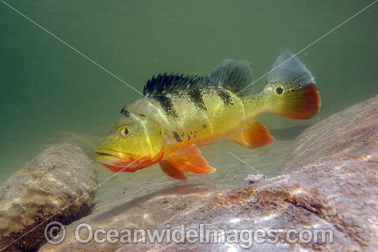 Peacock Bass (Cichla sp.), guarding its territory in a Miami, FL freshwater lake. Also known as Peacock Cichlid. It was introduced in Florida from South America to control Tilapia, another invasive species. The Peacock Bass is a prized sportfish. USA. Photo - Michael Patrick O'Neill
