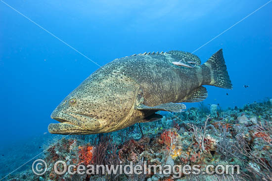Atlantic Goliath Grouper (Epinephelus itajara), surrounded by baitfish off Palm Beach, Florida, USA. Endangered species. The Atlantic Goliath Grouper is one of the largest bony fishes in coral reefs in the Western Atlantic and Eastern Pacific. Photo - MIchael Patrick O'Neill