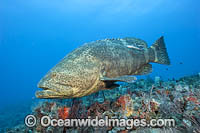 Atlantic Goliath Grouper photo