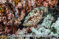 Starry Grouper Photo - MIchael Patrick O'Neill