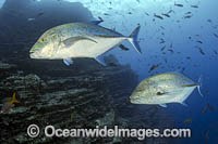 Blue-fin Trevally Photo - Michael Patrick O'Neill