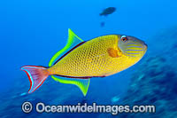 Crosshatch Triggerfish Photo - Michael Patrick O'Neill
