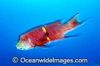Mexican Hogfish Photo - MIchael Patrick O'Neill