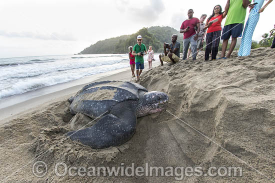 Female Leatherback Sea Turtle (Dermochelys coriacea), nesting at sunrise on Grand Riviere, Trinidad, returns to the Caribbean Sea. South America. Listed on IUCN Red list as Critically Endangered Photo - Michael Patrick O'Neill