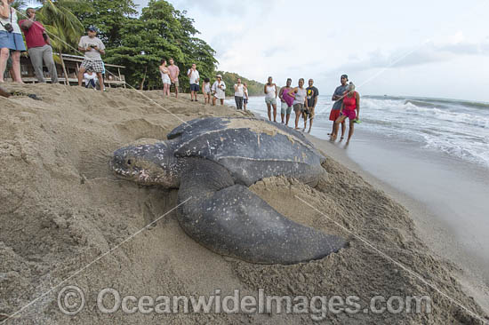 leatherback sea turtle photos images and pictures
