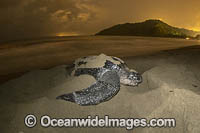 Leatherback Turtle nesting Photo - Michael Patrick O'Neill