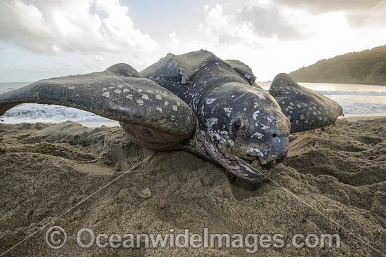 Female Leatherback Sea Turtle (Dermochelys coriacea), nesting at sunrise on Grand Riviere, Trinidad, South America. Listed on IUCN Red list as Critically Endangered Photo - Michael Patrick O'Neill