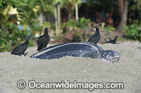 Vultures preying on baby Turtle Photo - Michael Patrick O'Neill