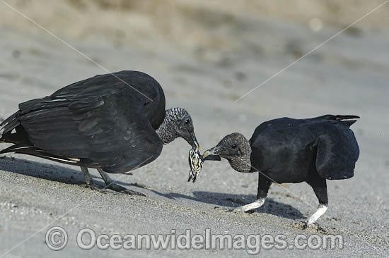 Black Vultures (Coragyps atratus), feeding on Leatherback Sea Turtle hatchlings (Dermochelys coriacea), on Grande Riviere beach, Trinidad, South America. Listed on IUCN Red list as Critically Endangered Photo - Michael Patrick O'Neill