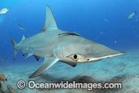 Great Hammerhead Shark photo