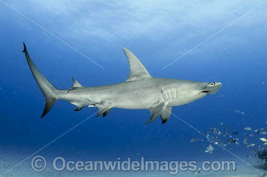 Great Hammerhead Shark (Sphyrna mokarran). Offshore Jupiter, Florida, United States. Photo - Michael Patrick O'Neill