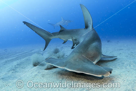 Hammerhead Shark Scientific Name | Hammerhead Shark Photos Pictures Images