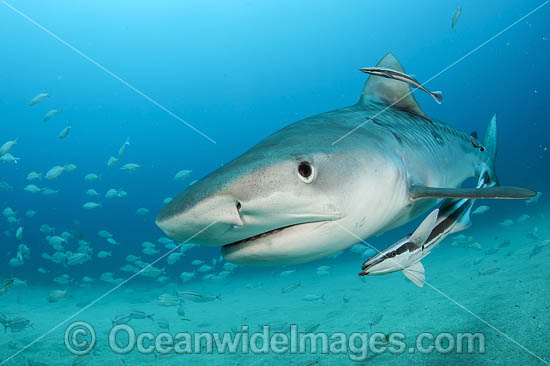 Tiger Shark (Galeocerdo cuvier), with remora suckerfish attached. Offshore Jupiter, Florida, United States. Photo - Michael Patrick O'Neill