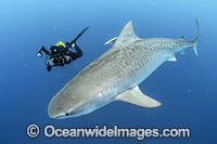 Diver and Tiger Shark Photo - Michael Patrick O'Neill