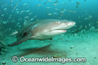 Lemon Shark with schooling Jack Photo - Michael Patrick O'Neill