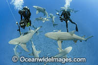 Divers and Lemon Shark Photo - Michael Patrick O'Neill