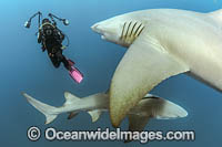 Diver and Lemon Shark Photo - Michael Patrick O'Neill
