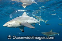 Blacktip Shark Photo - Michael Patrick O'Neill