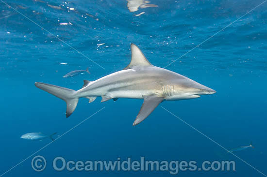 Blacktip Shark (Carcharhinus limbatus). Also known as Black Whaler. Found in coastal tropical and sub-tropical waters around the world, including brackish habitats. Photo taken off Jupiter, Florida, USA. Photo - Michael Patrick O'Neill