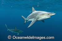 Blacktip Shark Florida Photo - Michael Patrick O'Neill