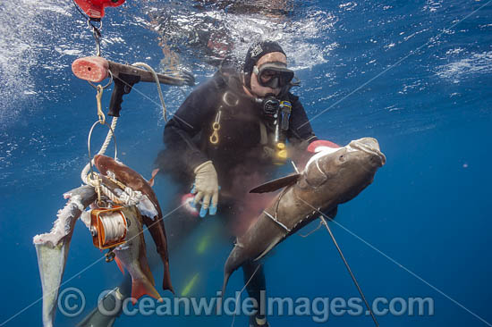 Spearfisherman with a catch of Cobia (Rachycentron canadum). Offshore Jupiter, Florida, USA.