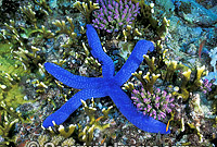 Blue Linckia Sea Star Photo - Gary Bell
