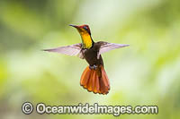 Ruby Topaz Hummingbird photo