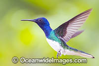 White-necked Jacobin Hummingbird photo