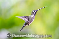 Long-billed Starthroat Hummingbird photo