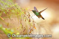 Copper Rumped Hummingbird photo