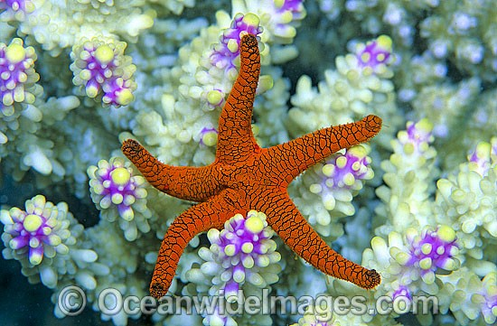 Fromia Sea Star photo